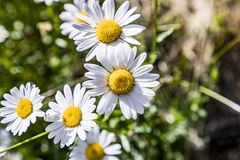 Detail of blooming daisy flower Royalty Free Stock Photos