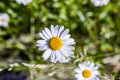 Detail of blooming daisy flower Royalty Free Stock Photo