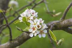 Detail of a blooming fruit tree Royalty Free Stock Images