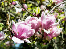 Detail of blooming magnolia tree Stock Images