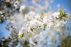 Blossoming cherry flowers Stock Images