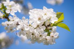 Blossoming cherry flowers Stock Image
