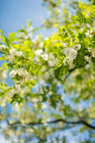 Detail of blossoming robinia tree with extremely soft background. And blue sky visible Stock Image