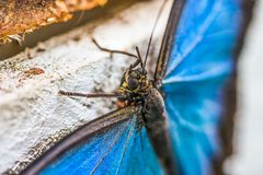Detail of  Blue Butterfly Morpho Peleides