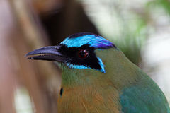 Detail of a blue crowned Motmot. Just the face of the blue crowned Motmot Stock Photos