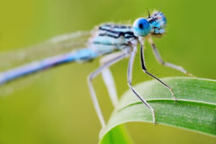Detail of a blue dragonfly Royalty Free Stock Photography