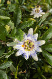 Detail of blue passion flower Royalty Free Stock Image