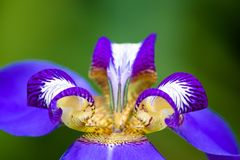 Detail of blue purple Walking Iris Neomarica caerulea flower macro  on green bokeh background out of focus. Flower with bright colors of blue, purple and stock images