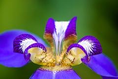 Detail of blue purple Walking Iris Neomarica caerulea flower macro isolated on green bokeh background out of focus. Detail of blue purple Walking Iris Neomarica royalty free stock image