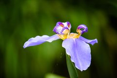 Detail of blue purple Walking Iris Neomarica caerulea flower macro isolated on green bokeh background out of focus. Flower with bright colors of blue, purple royalty free stock photo