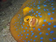 Detail - Blue Spotted Stingray. Close-up of the eye Royalty Free Stock Images