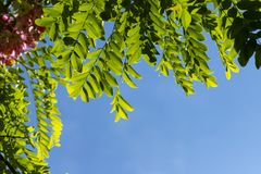 A Detail from a Blue Wall Covered with Green Leaves. Blossoming pink acacia Robinia Viscosa against the sky. stock photography