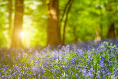 Detail of bluebell flower forest Stock Images