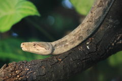Boa constrictor imperator Stock Photos
