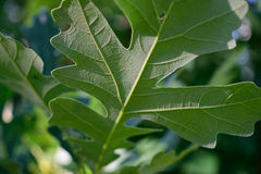 Detail of Bottom of Bur Oak (Quercus macrocarpa) Leaf Stock Photography