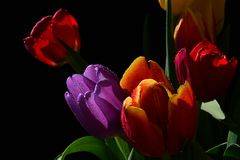 Detail of bouquet with fresh tulip flowers of various colors on black background Stock Photos