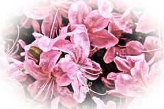 Pink Flowers with white vignette Royalty Free Stock Photos