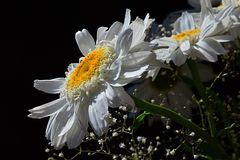 Detail of bouquet from white flowers of ox-eye daisies Leucanthemum Vulgare and small auxiliary flowers on black background Stock Photos