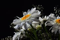 Detail of bouquet from white flowers of ox-eye daisies Leucanthemum Vulgare and small auxiliary flowers on black background Stock Image