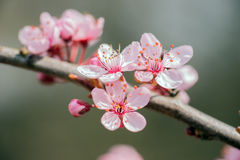 Detail of a branch of almond blossom Stock Photography