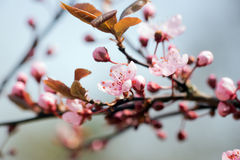 Detail of a branch of almond blossom Stock Images