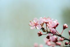 Detail of a branch of almond blossom Royalty Free Stock Photography