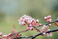 Detail of a branch of almond blossom Stock Image