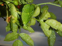 Detail of a branch with green leaves and drop of water Stock Photography