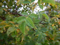 Detail of a branch with green leaves and drop of water Royalty Free Stock Images
