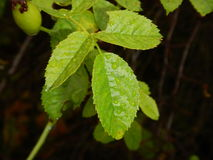 Detail of a branch with green leaves and drop of water Stock Image