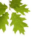 Detail branch of maple Royalty Free Stock Image