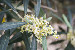 Detail of a branch of olive tree in flowering during spring Stock Photos