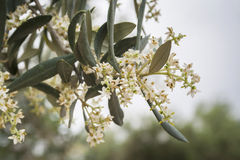 Detail of a branch of olive tree in flowering during spring Royalty Free Stock Photography