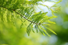 Detail of branch tree Bald Cypress Stock Photos