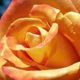 Detail of Bright Orange Rose. Perfect petals in a close up detail of a bright orange rose, growing in a home garden. Natural beauty royalty free stock photo