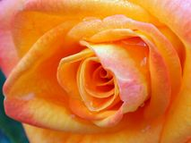 Soft Coloured Orange Rose, Convoluted Petals. Detail of a brilliant orange rose flower, with tightly packed or wrapped convoluted petals royalty free stock photos