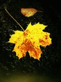 Detail of broken colorful leaf. Symbol of fall. Leaf on wet slipper stone in cold milky water of rapid stream. Royalty Free Stock Photos