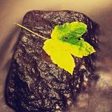 Detail of broken colorful leaf. Symbol of fall. Leaf on wet slipper stone in cold milky water of rapid stream. Stock Image