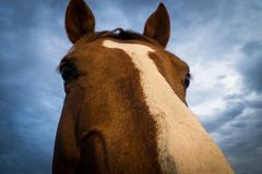 Brown Horse Face Royalty Free Stock Photo
