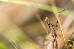 Detail on a Brown variant of a Mantis religiosa - common name pr. Aying mantis on a dry blade of grass Stock Images