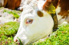 Detail of brown white cow head eating grass. Photographed outdoors. Alpine cows. Farm animals. Dairy products. Agriculture concept