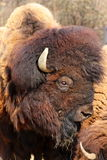 Detail of a buffalo Stock Photography