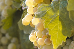 Detail of a bunch of grapes in vineyard Stock Images