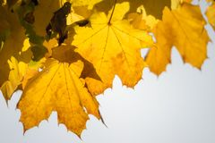 Yellow maple leaves cling to their tree royalty free stock photos