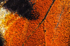 Detail of butterfly wing. With small scales close-up Royalty Free Stock Images