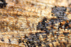 Detail of butterfly wing. With small scales close-up Royalty Free Stock Photo