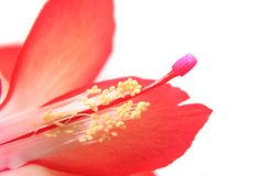 Detail of cactus flower Royalty Free Stock Photography
