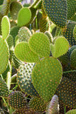 Detail of cactus with its thorns Royalty Free Stock Photography