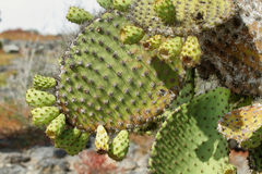 Detail of cactus in South Plaza island Royalty Free Stock Photography