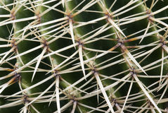 Detail of cactus thorns. Macro photo of cactus thorns Stock Image